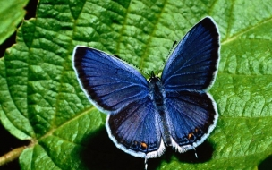 Fondo de pantalla mariposa azul