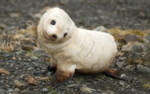 Baby seal wallpaper