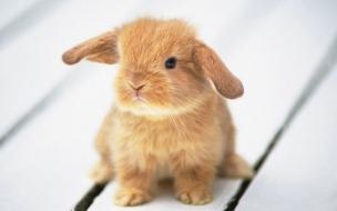 Fondo de pantalla conejo bebe