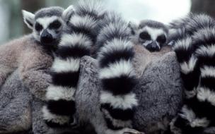 Fondo de pantalla lemurs