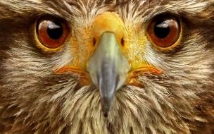 Eagle animal wallpapers