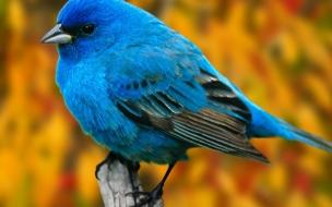 Fondo de pantalla pajarito azul posando