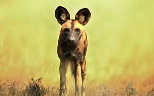 Fondo de pantalla hiena solitaria