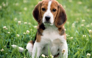 Beagle Apple Park Dog Animal Wallpaper