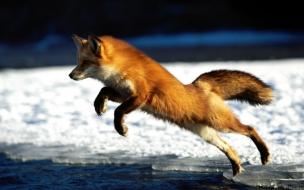 Fox Wallpaper Background