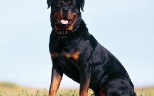 Rottweiler Strong Animals Backgrounds