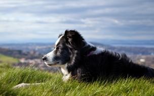 Fondo de pantalla perro acostado en cesped