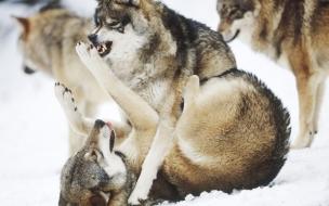 Fondo de pantalla lobos peliando