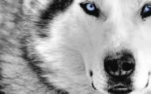 Fondo de pantalla perro lobo