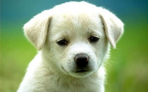 Fondo de pantalla perrito blanco
