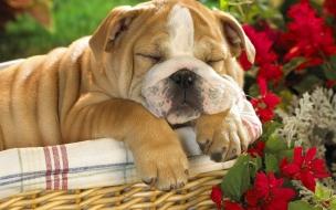 Fondo de pantalla perro durmiendo