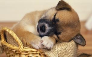 Fondo de pantalla perrito dormido en canasta