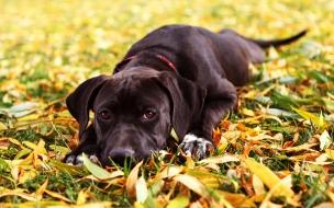 Fondo de pantalla perro negro