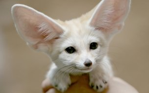 Fennec fox animal wallpaper