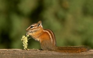 Forest animals wallpaper chipmunk