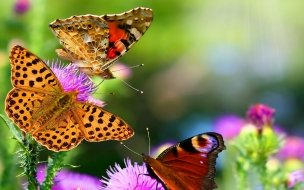 Nature butterfly animals HD Wallpapers