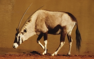 Antilope Gemsbok animal wallpaper other