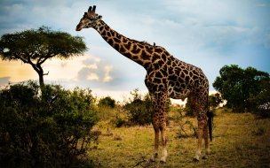 Giraffe animal wallpaper wide
