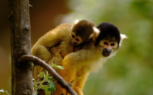 Loving monkeys cute animal wallpapers