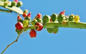 Beautiful Nopal with Flowers HD Wallpapers