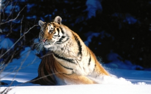 Wintery scuddle siberian tiger normal