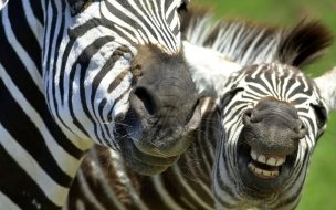 Zebras African Animals Wallpaper