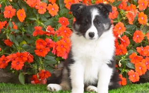 Animals wallpapers Shetland Sheepdog Puppy