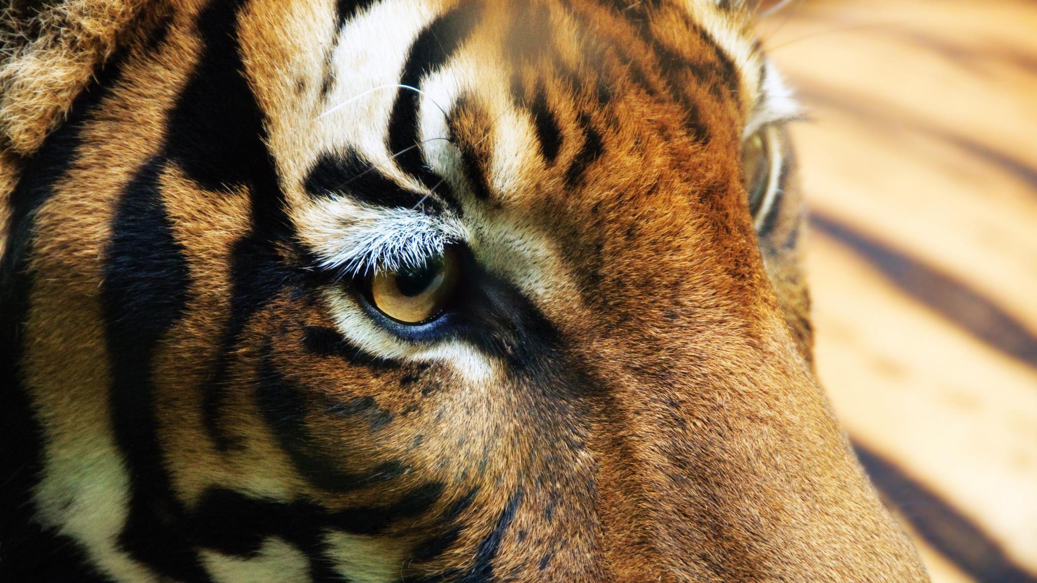 fondo de pantalla ojos de tigre 2048x1152