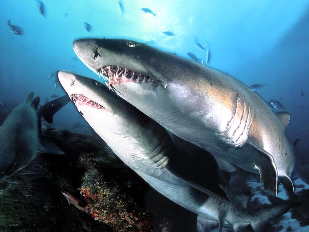 Fondo De Pantalla Tiburones Hambrientos 1024x768 Fondo De Pantalla