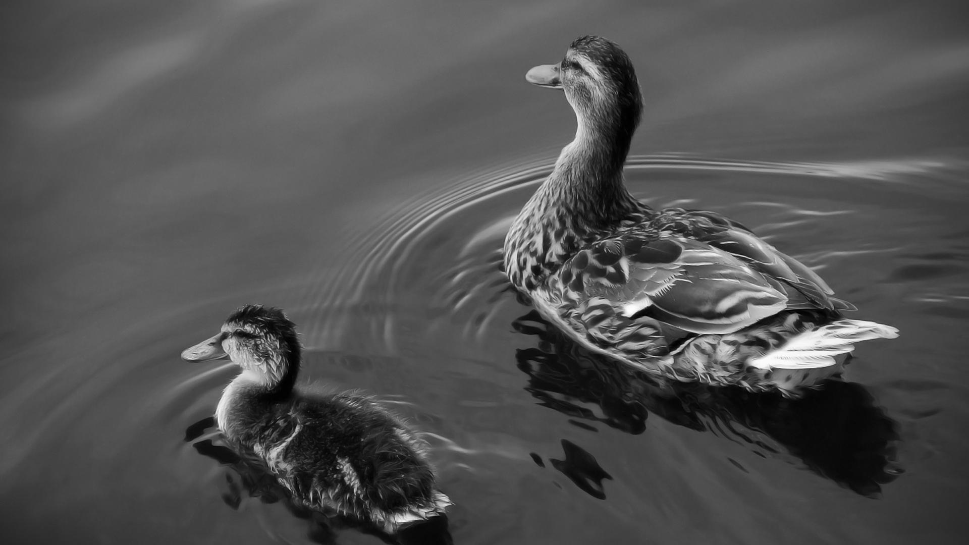Pareja de patos en blanco y negro 1920x1080 fondo de for Fondo de pantalla blanco y negro