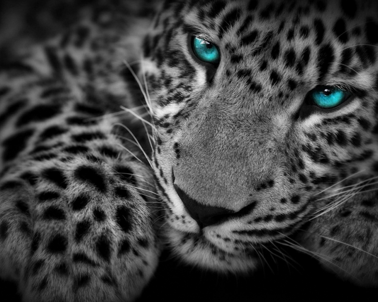 Animales Felino Leopardos Fondo De Pantalla Fondos De: Fondo De Pantalla Leopardo Ojos Azules 1280x1024