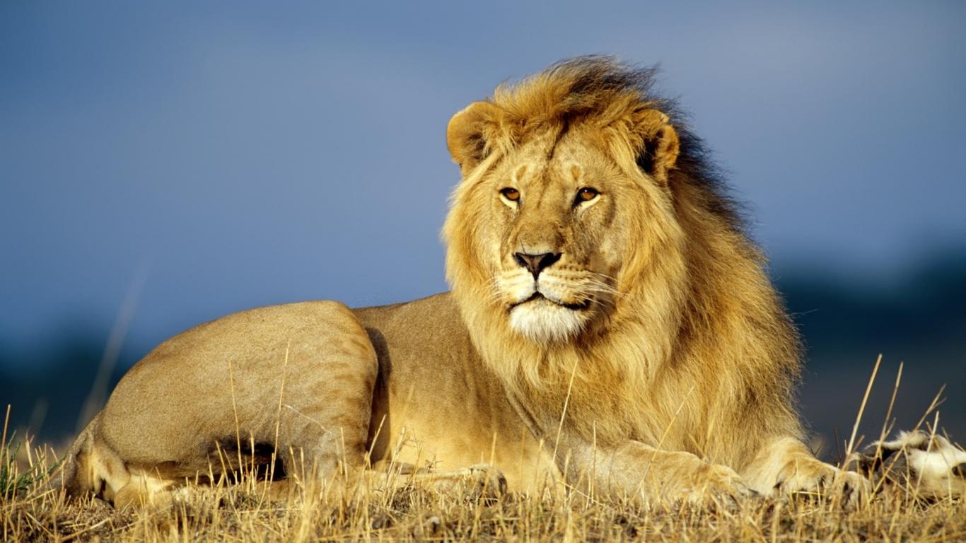lion animal brown 1366x768 - photo #27