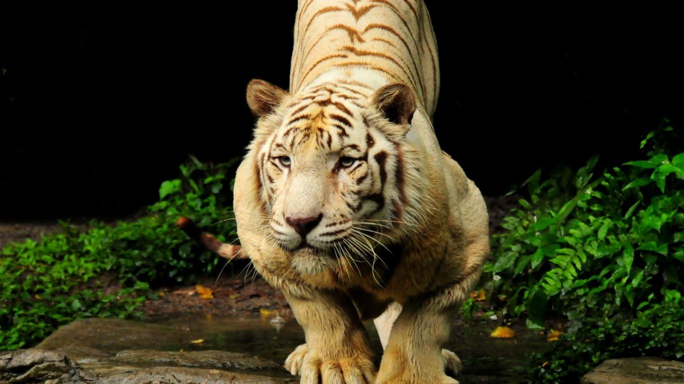 fondo pantalla tigre: