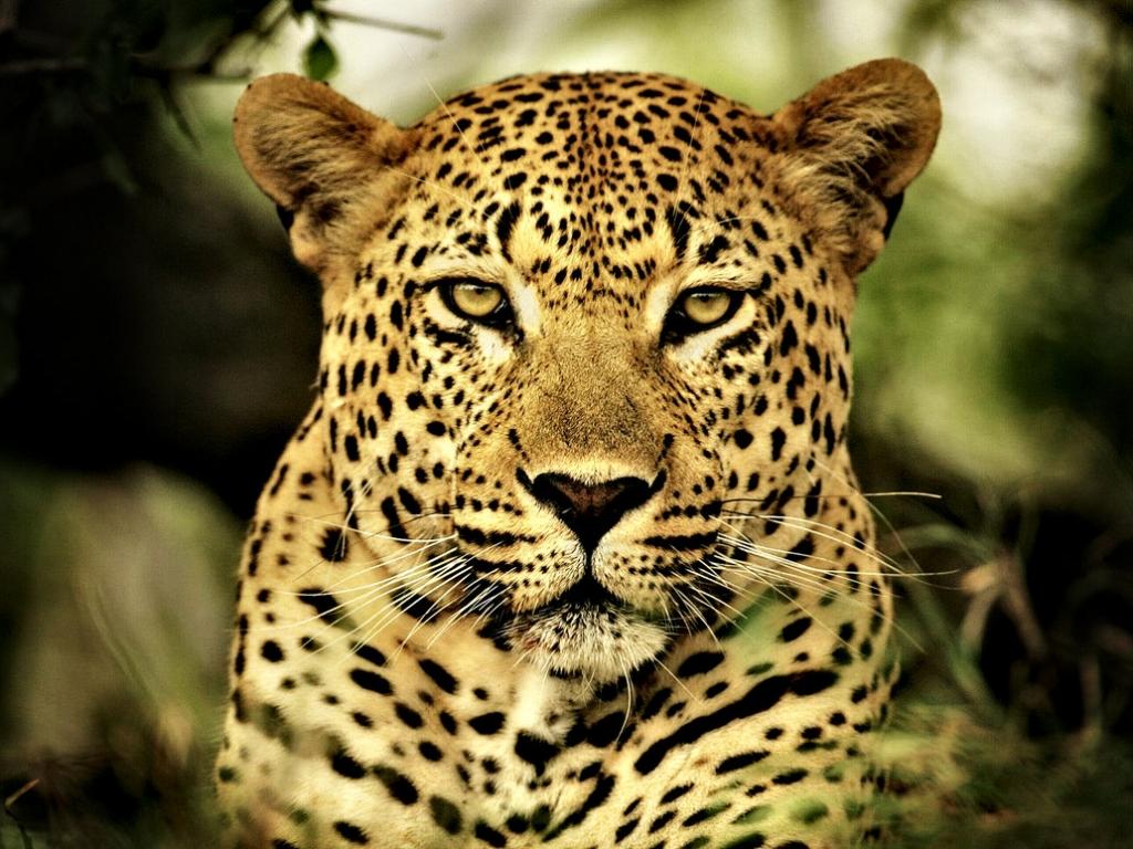 Animales Felino Leopardos Fondo De Pantalla Fondos De: Fondo De Pantalla Leopardo 1024x768