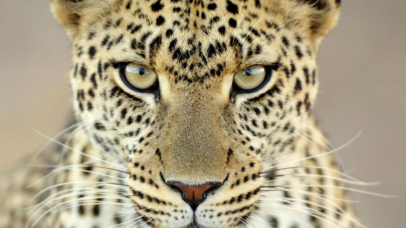 Animales Felino Leopardos Fondo De Pantalla Fondos De: Fondo De Pantalla Mirada De Leopardo 1366x768