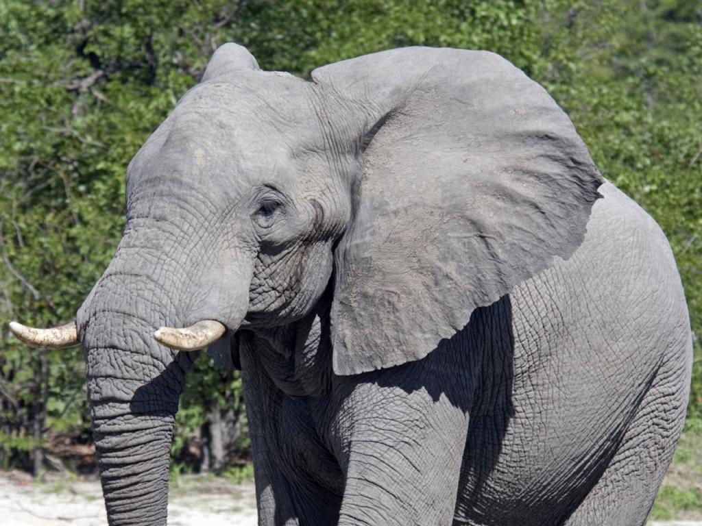 Solo Fondos De Pantalla Animales: Fondo De Pantalla Elefante Bebe Solo 1024x768