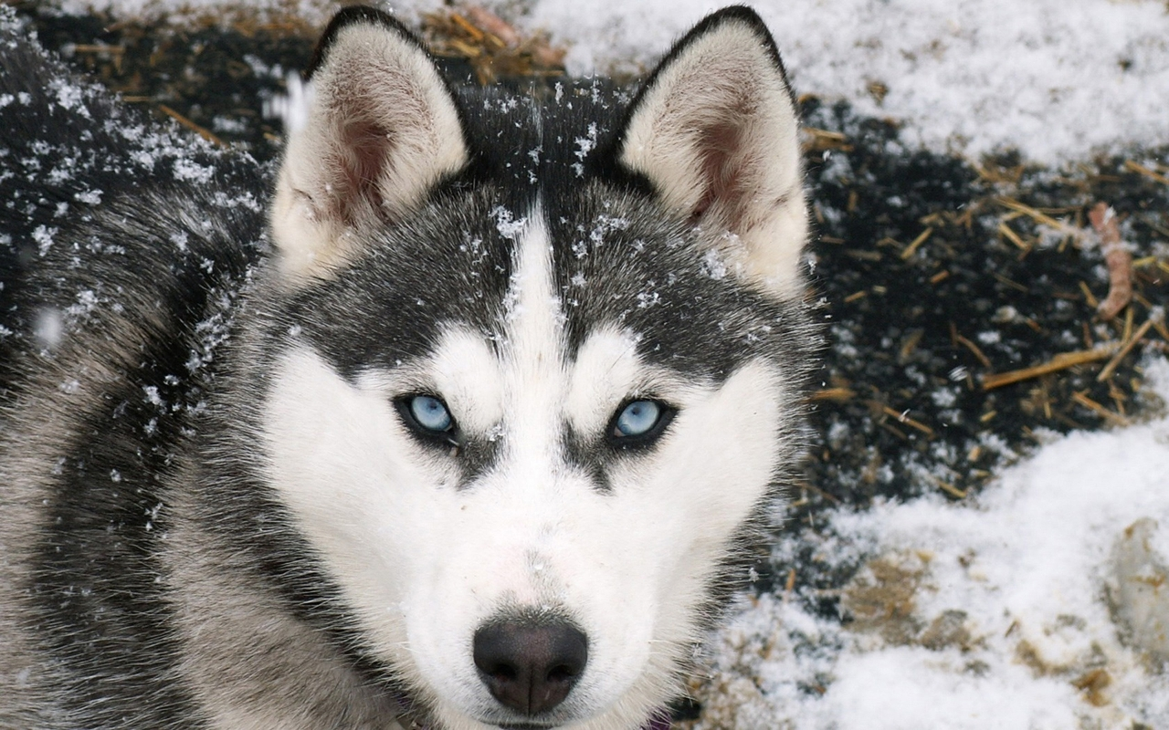 fondo de pantalla lobo en nieve 1280x800