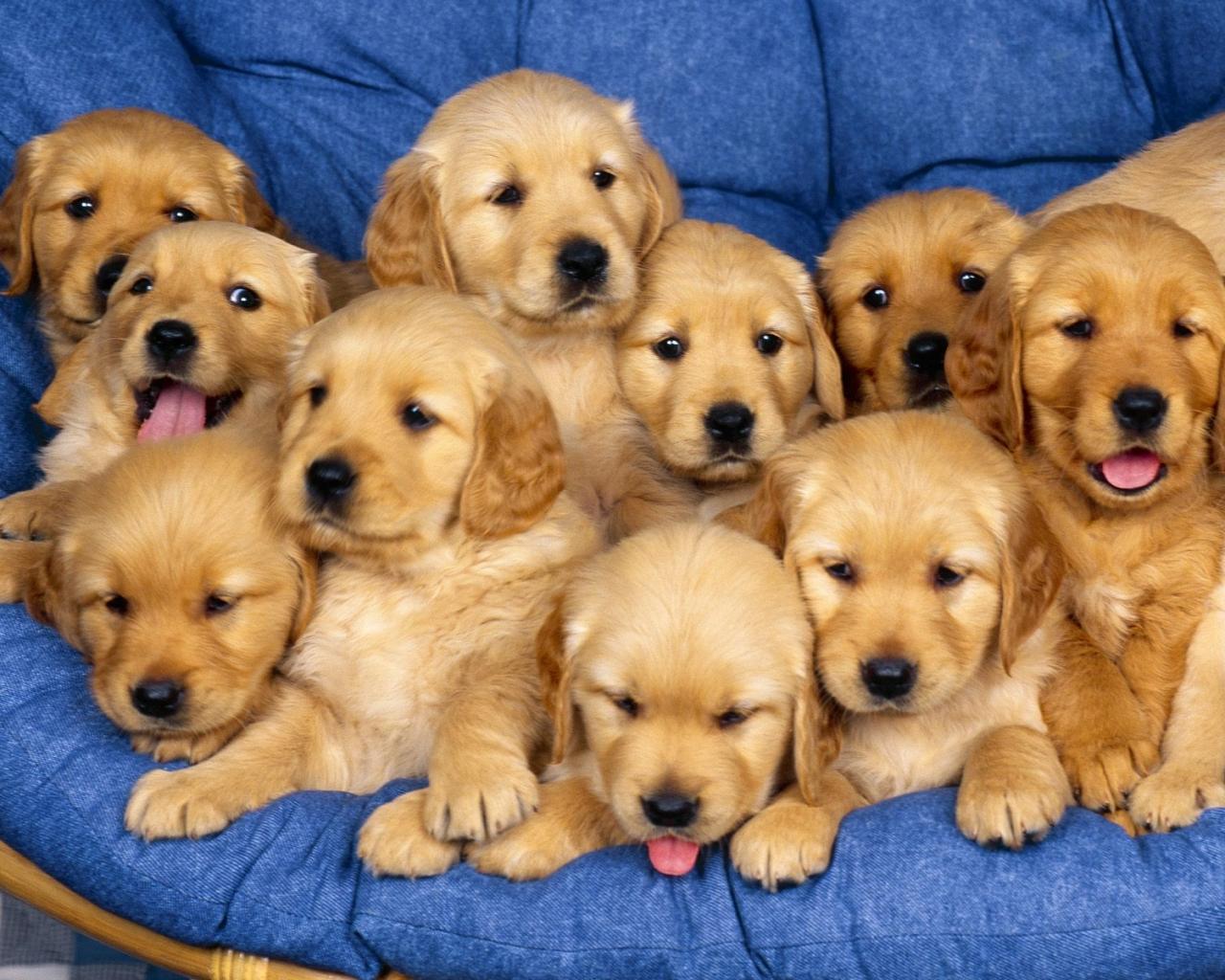 Fondos De Pantalla De Animales Bebes: Fondo De Pantalla Manada De Perros Bebes 1280x1024