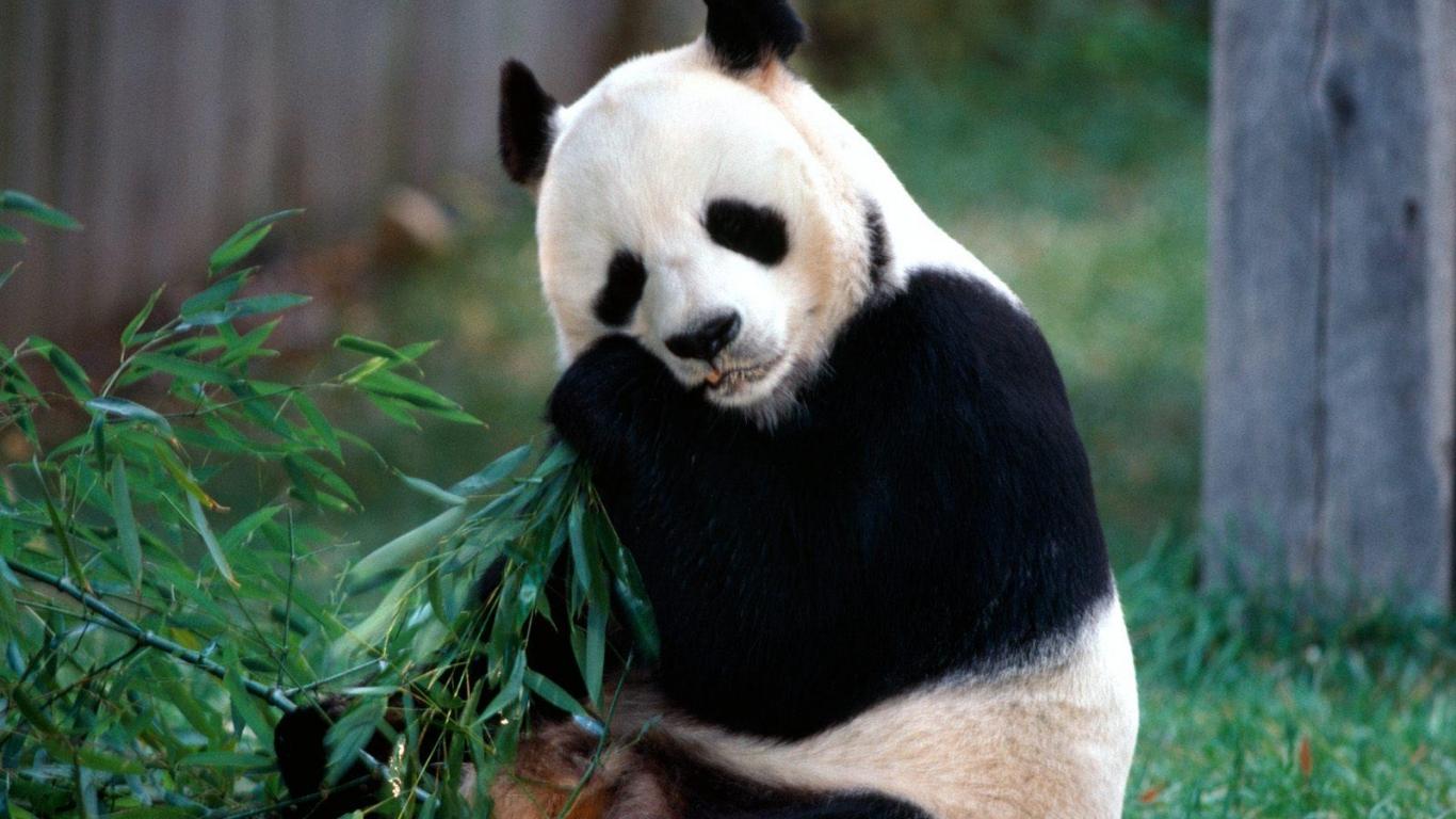 Fondo De Pantalla Oso Panda Comiendo Bambu 1366x768