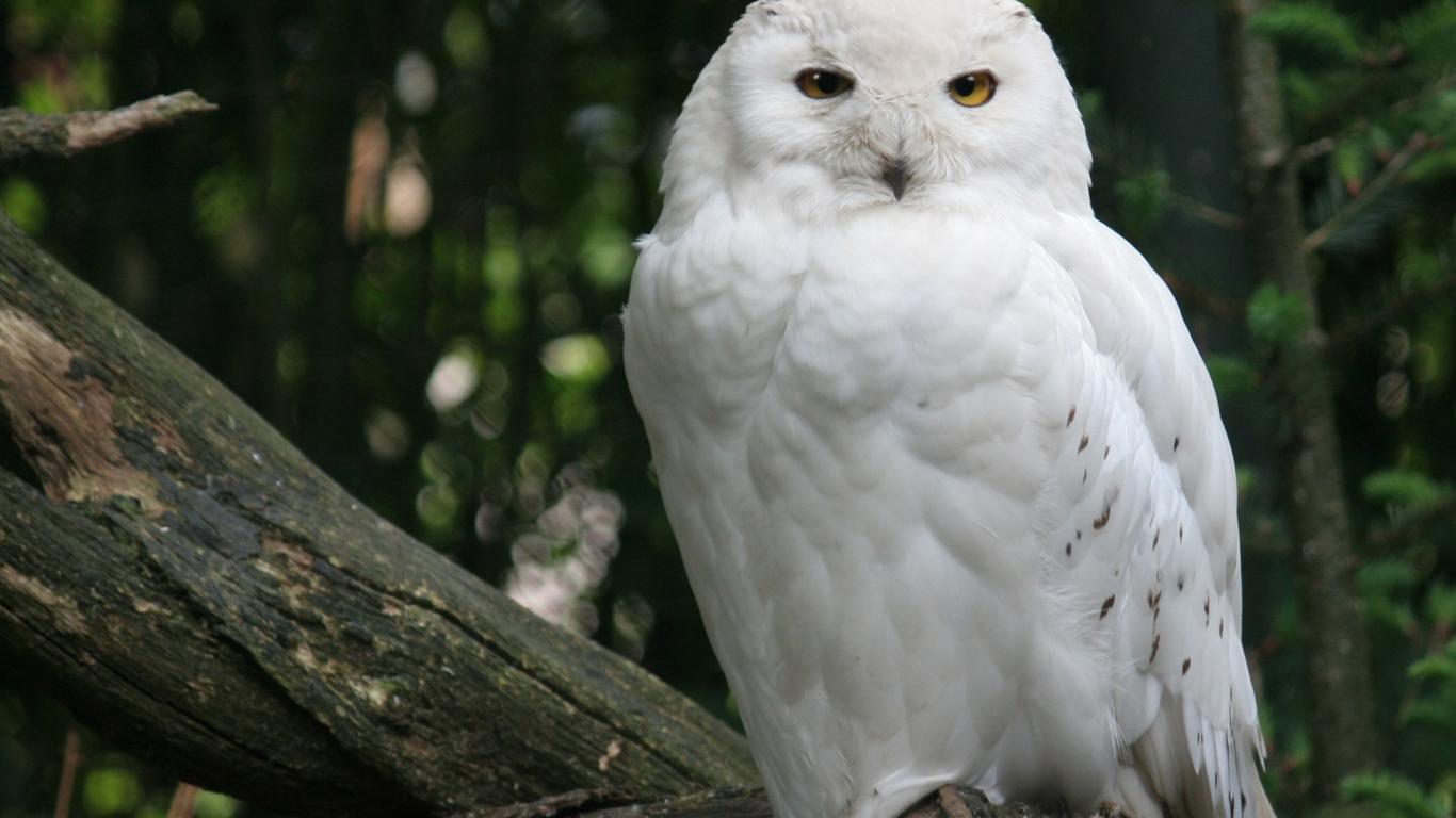 Fondo de pantalla de lechuza blanca 1366x768 fondo de - Animal and bird hd wallpaper ...