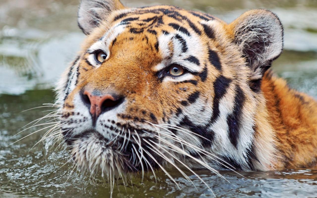 Fondo de pantalla tigre nadando 1280x800 fondo de - Construcciones benjoal ...