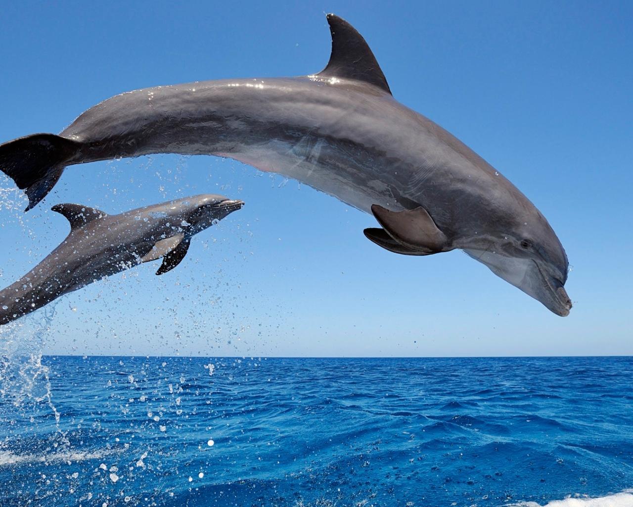 bottlenose dolphin wallpaper dolphins - photo #24